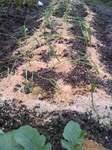 雨中で植えたたまねぎ