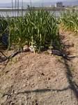 201104隣の立派な玉ネギ